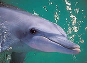 Indio-Pacific bottlenose dolphins