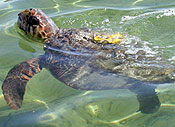 Green and Loggerhead Turtles